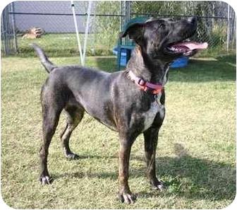 Plott Hound Mix Dog for adoption in Auburn, California - Elsa