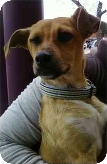 Chihuahua/Terrier (Unknown Type, Medium) Mix Puppy for adoption in Broomfield, Colorado - Tea