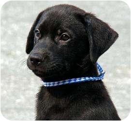Labrador Retriever/Golden Retriever Mix Puppy for adoption in Worcester, Massachusetts - Conan