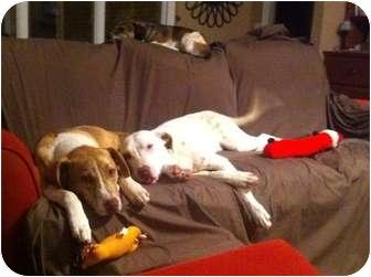 Labrador Retriever Mix Dog for adoption in Holladay, Tennessee - Cozy