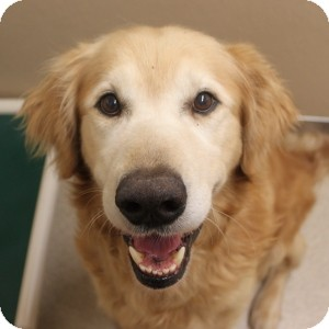 Golden Retriever Dog for adoption in Naperville, Illinois - Winchester