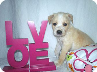 Labrador Retriever Mix Puppy for adoption in Parsippany, New Jersey - Tinkerbell