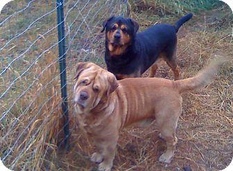 Shar Pei/Labrador Retriever Mix Dog for adoption in Chewelah, Washington - Zeus