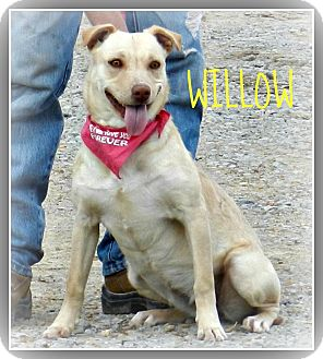 Labrador Retriever/Terrier (Unknown Type, Medium) Mix Dog for adoption in Lawrenceburg, Tennessee - Willow