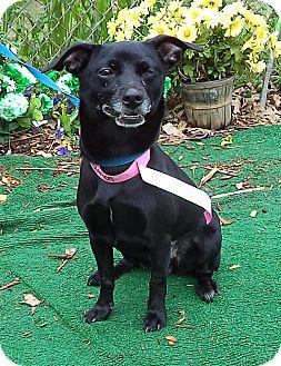 Chihuahua Mix Dog for adoption in Marietta, Georgia - COCO (R)