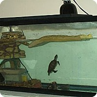 Turtle - Other for adoption in Rawlins, Wyoming - Swimmy