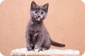 Domestic Shorthair Kitten for adoption in Sterling Heights, Michigan - Amy-ADOPTED