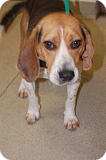 Beagle Dog for adoption in Bucyrus, Ohio - Oliver Twist