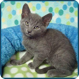 Domestic Shorthair Kitten for adoption in Glendale, Arizona - Floyd