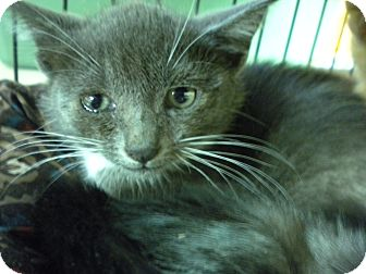 Domestic Shorthair Kitten for adoption in Forest Hills, New York - Cindy
