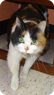 Domestic Mediumhair Cat for adoption in Lapeer, Michigan - TIKI--BEAUTIFUL!