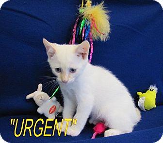 Domestic Shorthair Kitten for adoption in Port St. Joe, Florida - Kazz