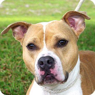American Staffordshire Terrier Mix Dog for adoption in Daytona Beach, Florida - Tank
