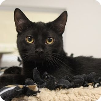 Domestic Shorthair Cat for adoption in Naperville, Illinois - Linus