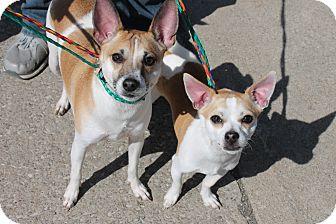 Chihuahua Mix Dog for adoption in Seville, Ohio - Marko