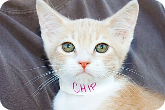 Domestic Shorthair Kitten for adoption in Irvine, California - Chip