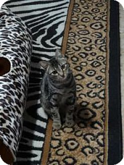 Bengal Cat for adoption in Spring Branch, Texas - Gunner