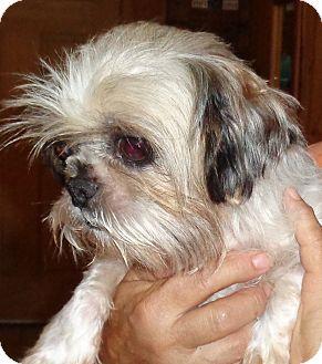 Shih Tzu Dog for adoption in Crump, Tennessee - Rosie