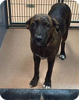 Plott Hound Mix Dog for adoption in Columbus, Georgia - Nova 7852