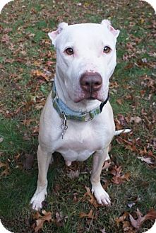 Pit Bull Terrier Dog for adoption in Framingham, Massachusetts - Alfalfa