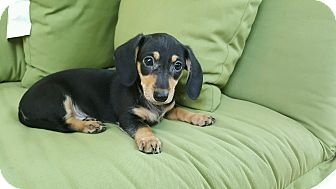 Dachshund/Poodle (Miniature) Mix Puppy for adoption in Charlotte, North Carolina - Chloe