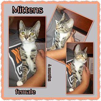 Domestic Shorthair Kitten for adoption in Richmond, California - Mittens