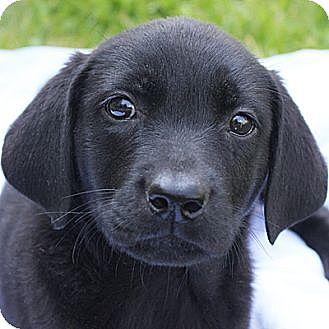 Labrador Retriever Mix Puppy for adoption in Huntley, Illinois - Alissa