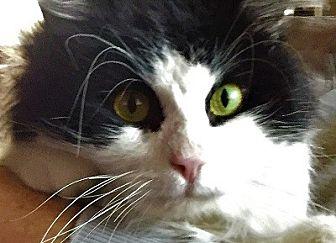 Domestic Mediumhair Cat for adoption in Burbank, California - Douglas