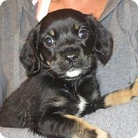 Adopt A Pet :: Tulip - Salem, NH