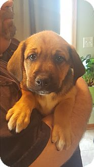 Mixed Breed (Medium)/Beagle Mix Puppy for adoption in St. Charles, Illinois - Moya