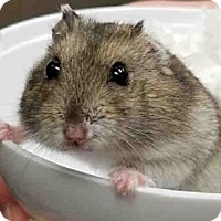 Hamster for adoption in Peoria, Illinois - FUZZY