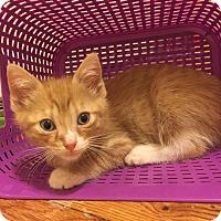 Adopt A Pet :: Tortellini - Baltimore, MD