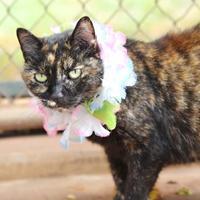 Adopt A Pet :: Gemma 9 - Puunene, HI