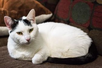 Domestic Shorthair/Domestic Shorthair Mix Cat for adoption in Terre Haute, Indiana - Sissy
