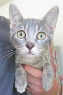 Domestic Shorthair/Domestic Shorthair Mix Cat for adoption in Menomonie, Wisconsin - Tadashi