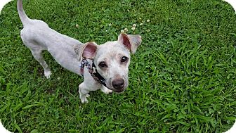 Poodle (Miniature)/Yorkie, Yorkshire Terrier Mix Dog for adoption in Rockford, Illinois - Rocket
