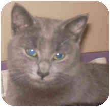 Russian Blue Cat for adoption in West Warwick, Rhode Island - Heidi