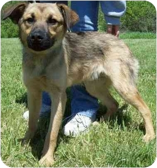 German Shepherd Dog Mix Puppy for adoption in North Judson, Indiana - Bo