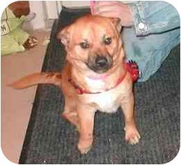 Shiba Inu/Chihuahua Mix Dog for adoption in Rockville, Maryland - Eustace