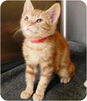 Domestic Shorthair Kitten for adoption in Petaluma, California - Rascal Girl