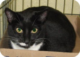 Domestic Shorthair Cat for adoption in Stillwater, Oklahoma - Marla