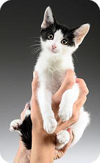 Domestic Shorthair Kitten for adoption in Cincinnati, Ohio - Shaggy
