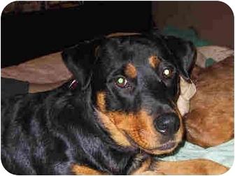 Rottweiler Dog for adoption in Austin, Texas - Lola