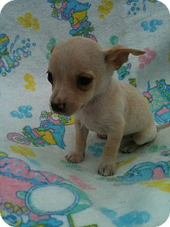 Chihuahua/Dachshund Mix Puppy for adoption in Hammond, Louisiana - Jameson