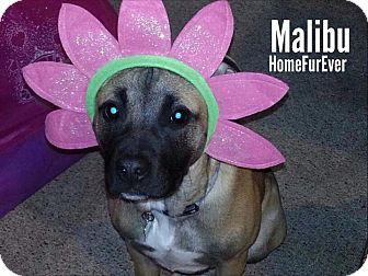 Shepherd (Unknown Type)/American Staffordshire Terrier Mix Puppy for adoption in Detroit, Michigan - Malibu-Adopted!