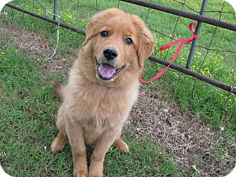 Great Pyrenees/Labrador Retriever Mix Puppy for adoption in Bedminster, New Jersey - Qwerty