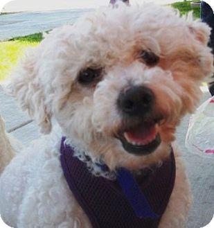 Poodle (Miniature)/Bichon Frise Mix Dog for adoption in Castro Valley, California - Liam
