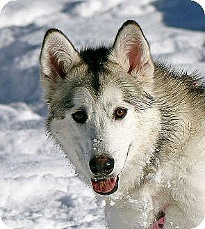 Alaskan Malamute Dog for adoption in Boise, Idaho - MESHA