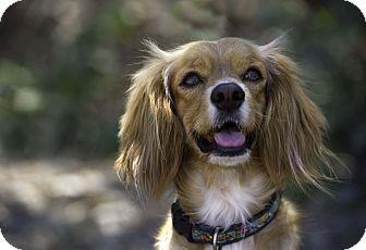Cocker Spaniel Mix Dog for adoption in Vancouver, British Columbia - Tango