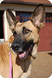 German Shepherd Dog Dog for adoption in Waterbury, Connecticut - CHLOE